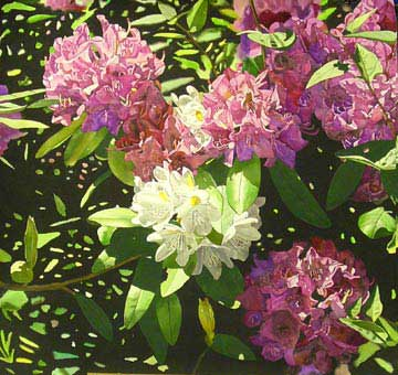 Pink and White Rhododendrons