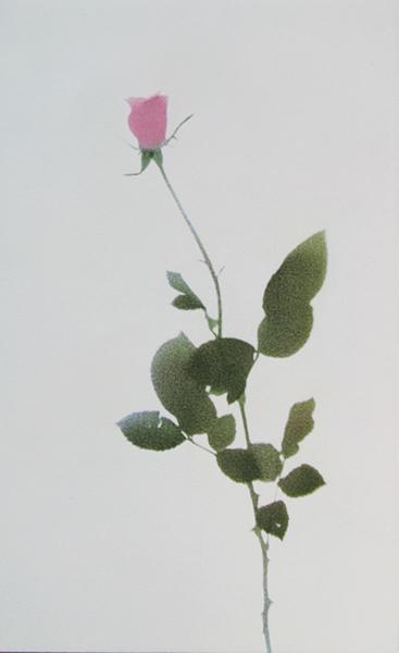 Single Rose (Left)