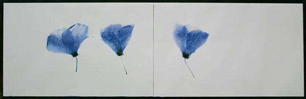 Three Hibiscus Blossoms