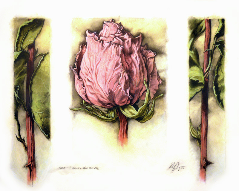 Dried Pink Rose (3 Views)
