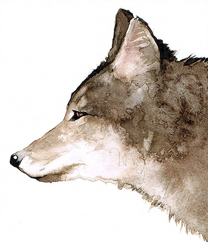 Coyote of the Americas