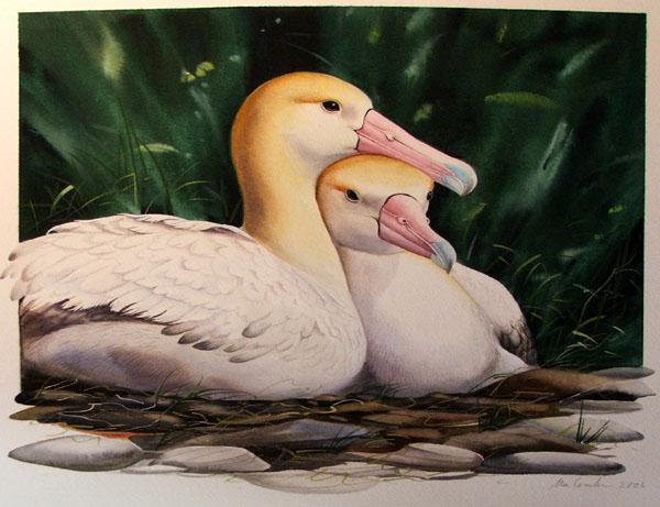 Short Tailed Albatross