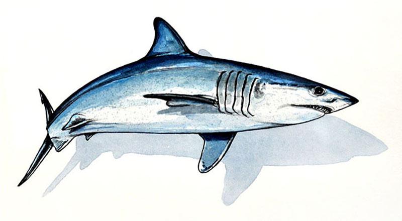 Mako Shark ∙ ...
