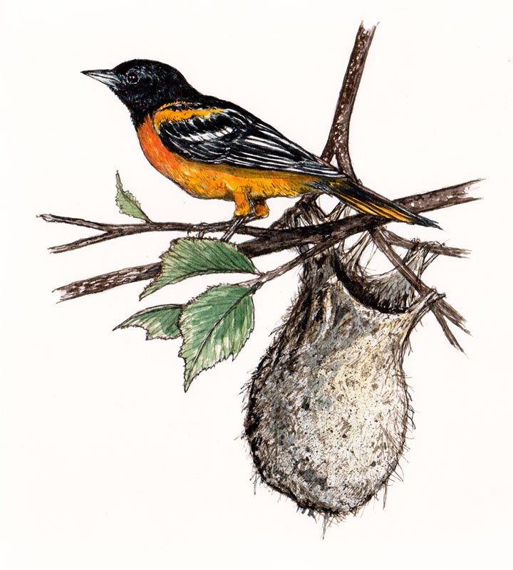 Oriole with Nest