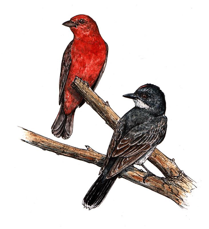 Summer Tanager and Kingbird